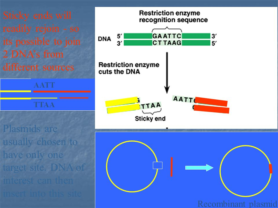 Sticky ends will readily rejoin - so its possible to join 2 DNA's from different sources Plasmids are usually chosen to have only one target site.