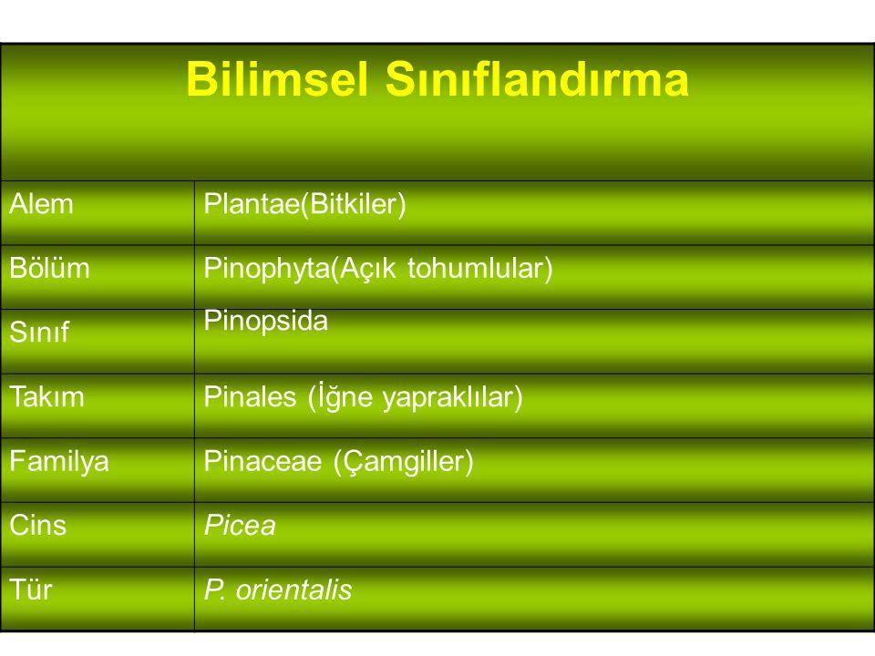 Bilimsel Sınıflandırma AlemPlantae(Bitkiler) BölümPinophyta(Açık tohumlular) Sınıf Pinopsida TakımPinales (İğne yapraklılar) FamilyaPinaceae (Çamgille