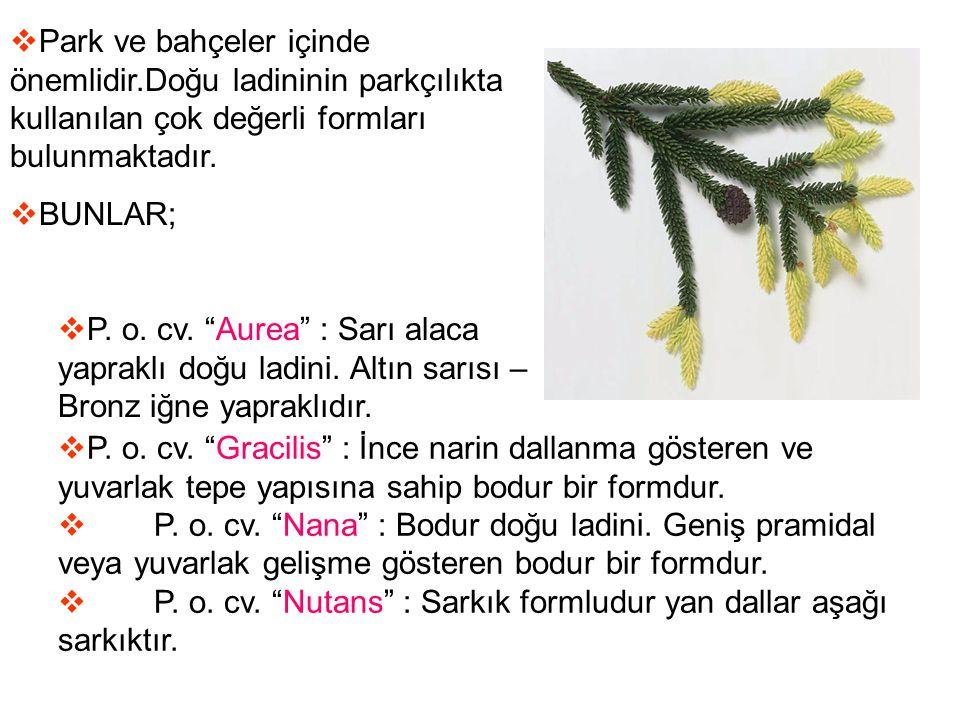 """ Park ve bahçeler içinde önemlidir.Doğu ladininin parkçılıkta kullanılan çok değerli formları bulunmaktadır.  BUNLAR;  P. o. cv. """"Aurea"""" : Sarı ala"""