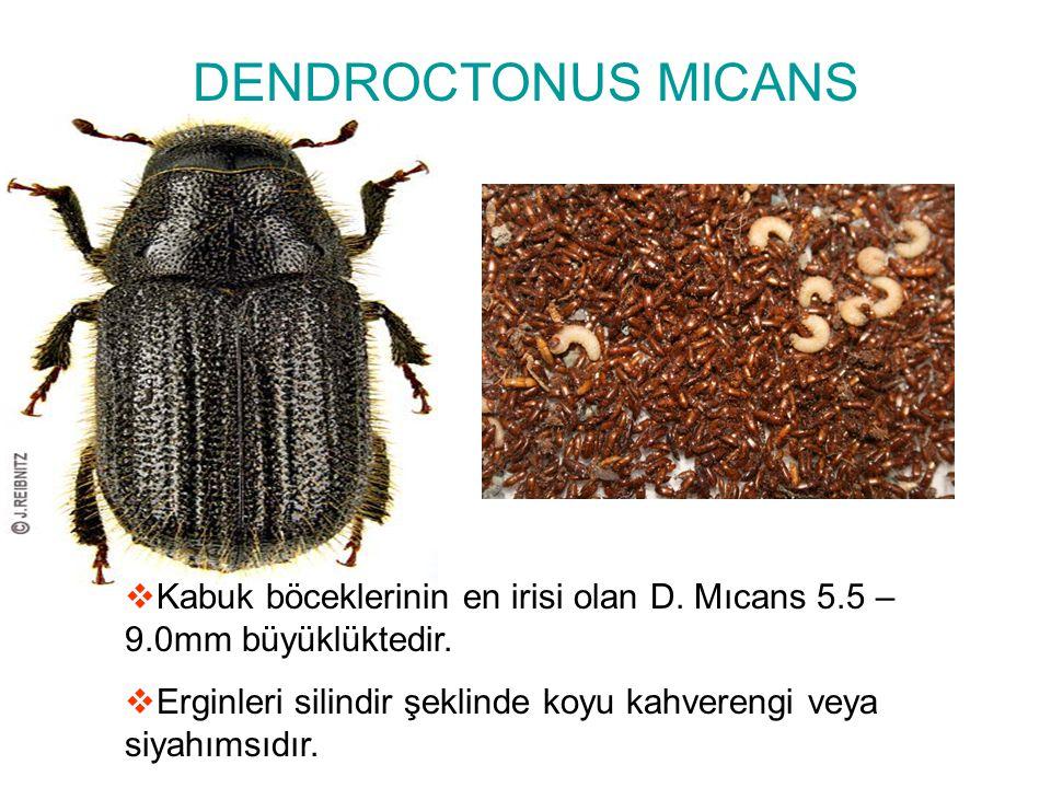 DENDROCTONUS MICANS  Kabuk böceklerinin en irisi olan D. Mıcans 5.5 – 9.0mm büyüklüktedir.  Erginleri silindir şeklinde koyu kahverengi veya siyahım