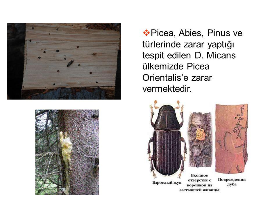  Picea, Abies, Pinus ve türlerinde zarar yaptığı tespit edilen D. Micans ülkemizde Picea Orientalis'e zarar vermektedir.