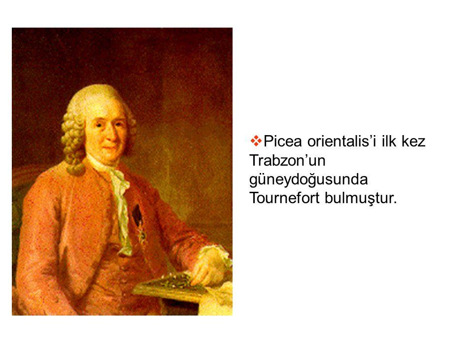  Picea orientalis'i ilk kez Trabzon'un güneydoğusunda Tournefort bulmuştur.