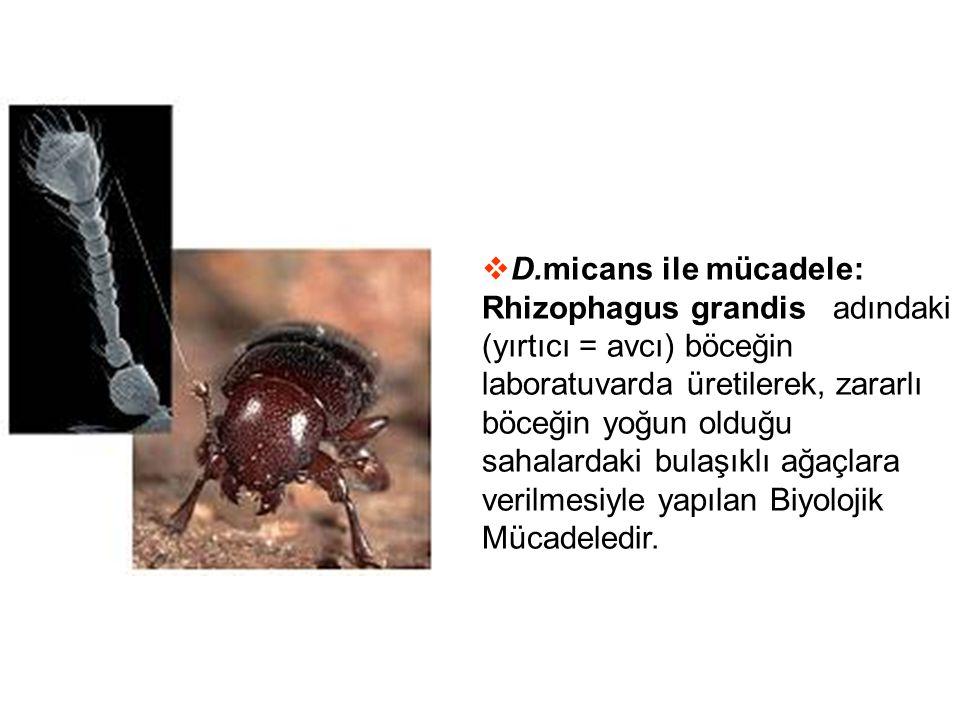  D.micans ile mücadele: Rhizophagus grandis adındaki (yırtıcı = avcı) böceğin laboratuvarda üretilerek, zararlı böceğin yoğun olduğu sahalardaki bula