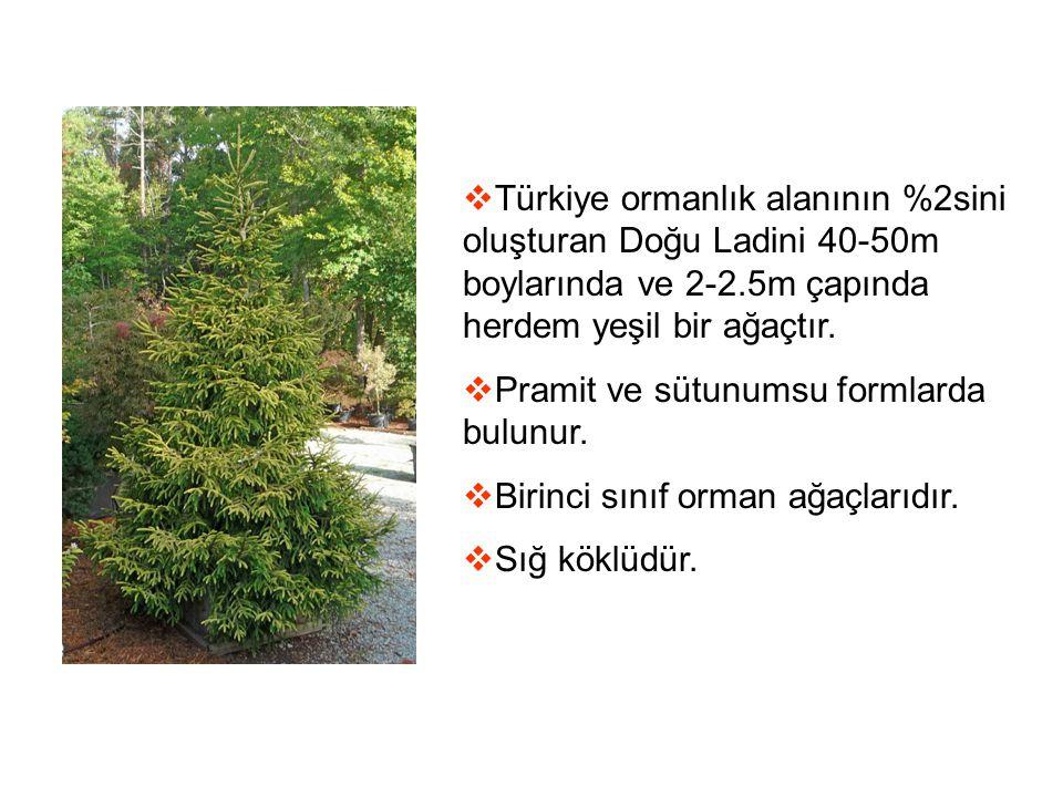  Türkiye ormanlık alanının %2sini oluşturan Doğu Ladini 40-50m boylarında ve 2-2.5m çapında herdem yeşil bir ağaçtır.  Pramit ve sütunumsu formlarda