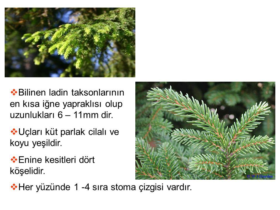  Bilinen ladin taksonlarının en kısa iğne yapraklısı olup uzunlukları 6 – 11mm dir.  Uçları küt parlak cilalı ve koyu yeşildir.  Enine kesitleri dö