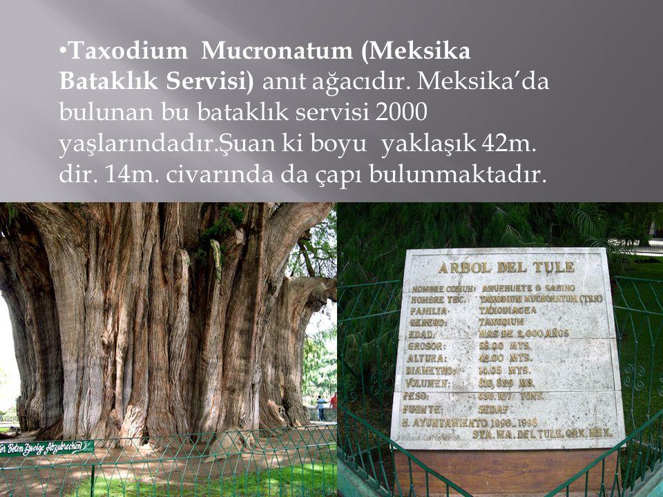 Taxodium Mucronatum (Meksika Bataklık Servisi) anıt ağacıdır.