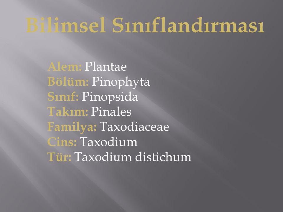 Bilimsel Sınıflandırması Alem: Plantae Bölüm: Pinophyta Sınıf: Pinopsida Takım: Pinales Familya: Taxodiaceae Cins: Taxodium Tür: Taxodium distichum