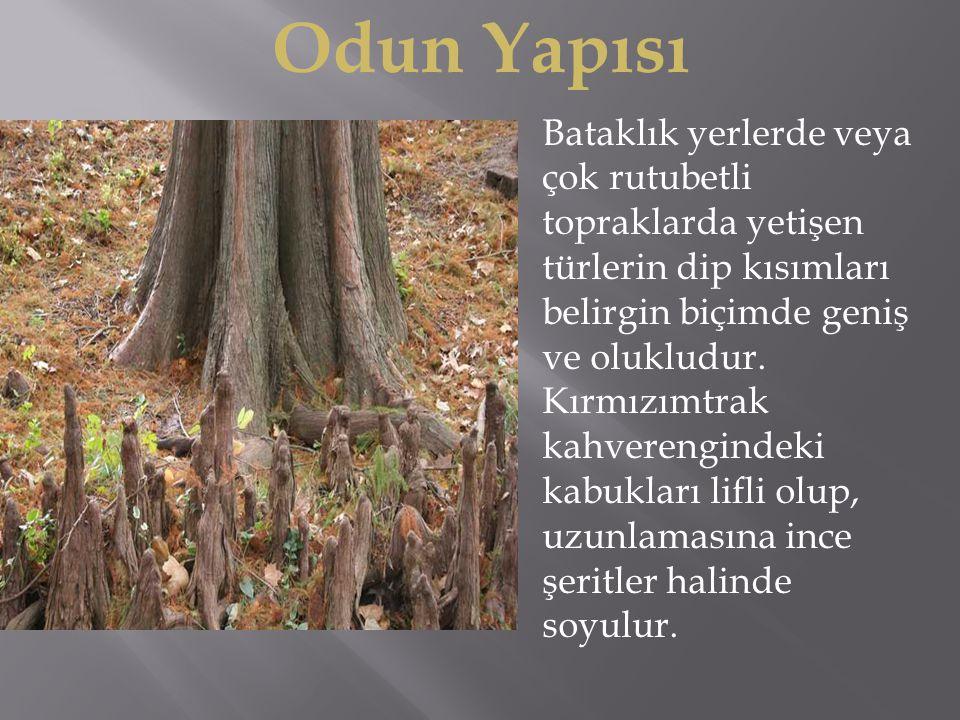 Bataklık yerlerde veya çok rutubetli topraklarda yetişen türlerin dip kısımları belirgin biçimde geniş ve olukludur.