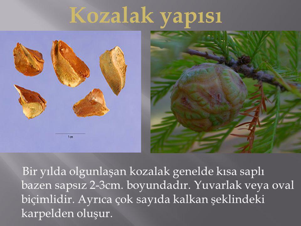 Bir yılda olgunlaşan kozalak genelde kısa saplı bazen sapsız 2-3cm.