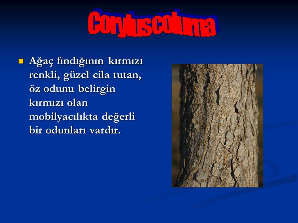 Ağaç fındığının kırmızı renkli, güzel cila tutan, öz odunu belirgin kırmızı olan mobilyacılıkta değerli bir odunları vardır. Ağaç fındığının kırmızı r