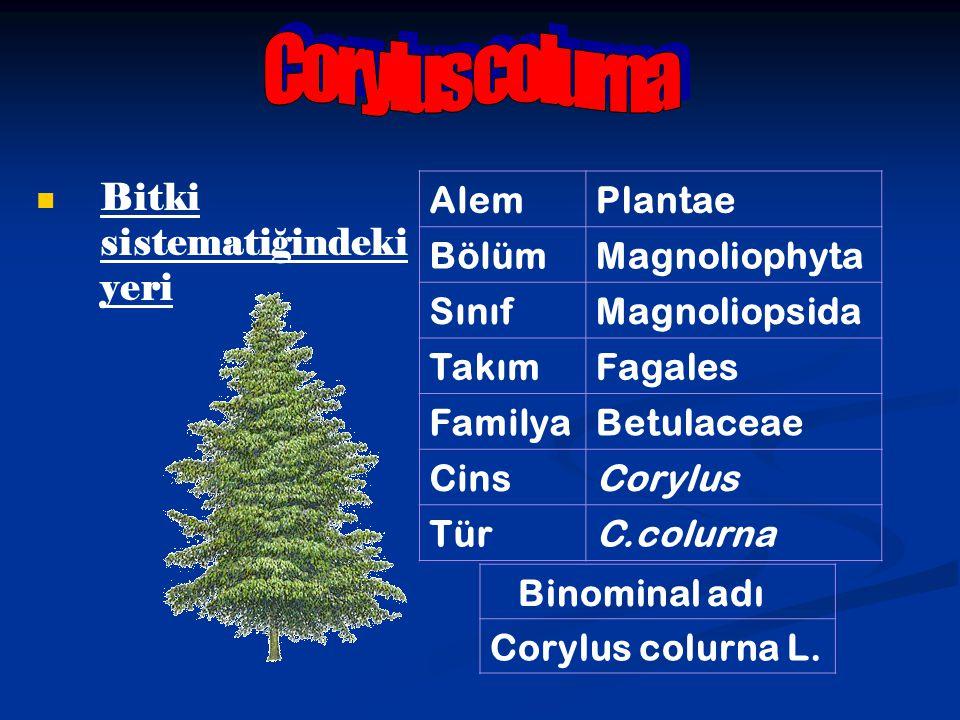 Bitki sistematiğindeki yeri AlemPlantae BölümMagnoliophyta SınıfMagnoliopsida TakımFagales FamilyaBetulaceae CinsCorylus TürC.colurna Binominal adı Co