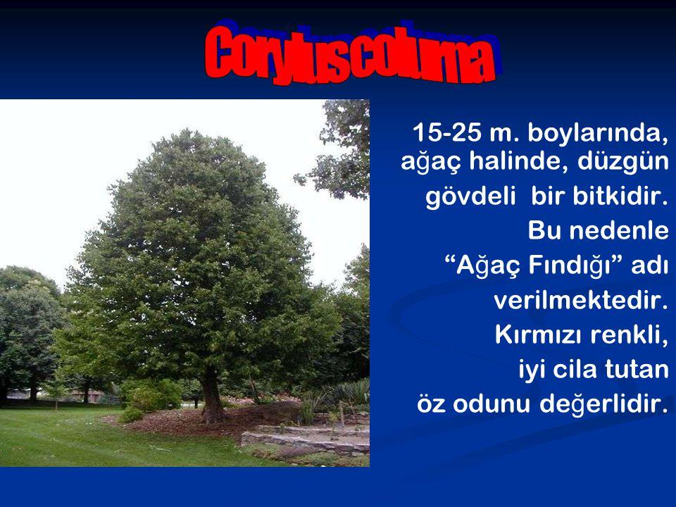 """15-25 m. boylarında, a ğ aç halinde, düzgün gövdeli bir bitkidir. Bu nedenle """"A ğ aç Fındı ğ ı"""" adı verilmektedir. Kırmızı renkli, iyi cila tutan öz o"""