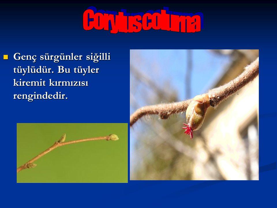 Ağaç fındığının kırmızı renkli, güzel cila tutan, öz odunu belirgin kırmızı olan mobilyacılıkta değerli bir odunları vardır.