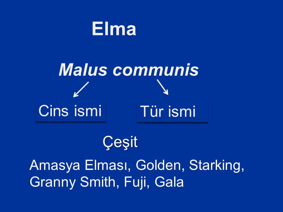 Malus communis Elma Cins ismi Tür ismi Amasya Elması, Golden, Starking, Granny Smith, Fuji, Gala Çeşit