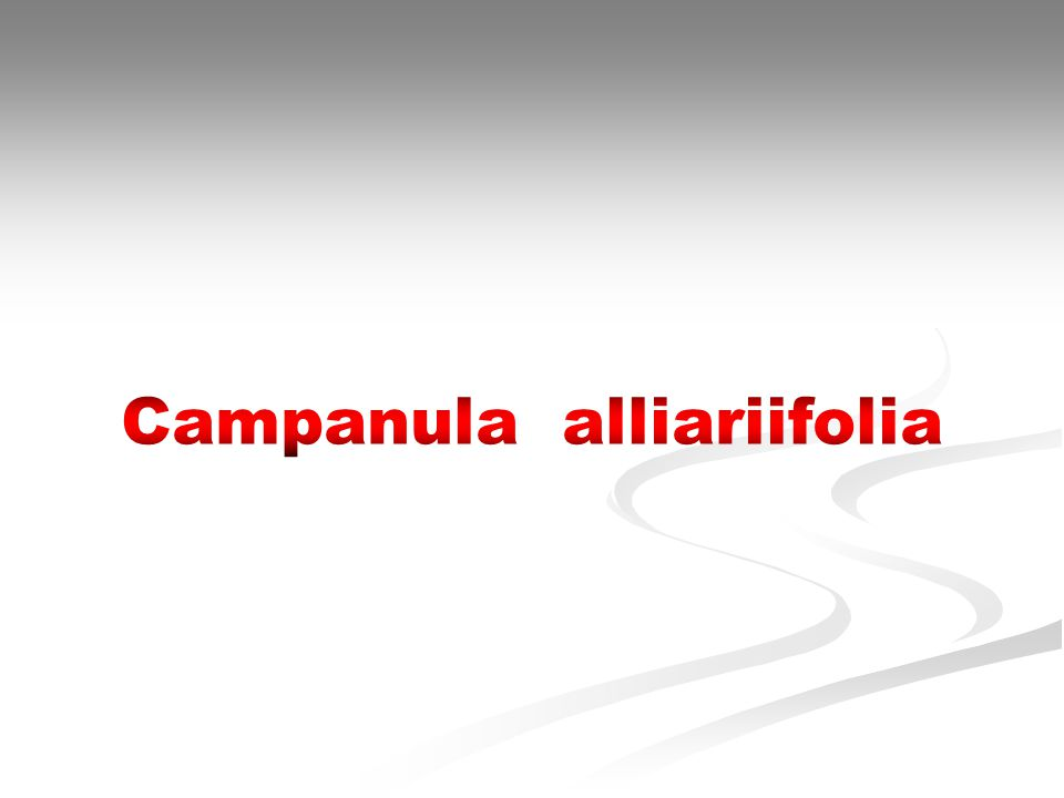 Bitkiler Alemi (Plantea) Alt Alem : Trachebionta Üst Şube : Spermatophyta Üst Şube : Spermatophyta Şube : Magnoliophyta Sınıf : Magnoliopsida Alt sınıf : Asteridae Takım : Campanulales Familya : Campanulaceae Botanik Adı : Campanula alliariifolia