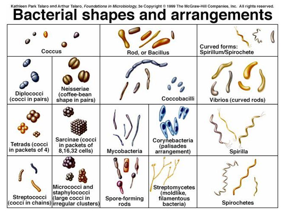 Bakteri = Schizomycetes (Bölünen Mantarlar) Zyst= Kalıcı spor