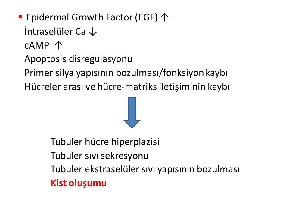 Epidermal Growth Factor (EGF) ↑ İntraselüler Ca ↓ cAMP ↑ Apoptosis disregulasyonu Primer silya yapısının bozulması/fonksiyon kaybı Hücreler arası ve h