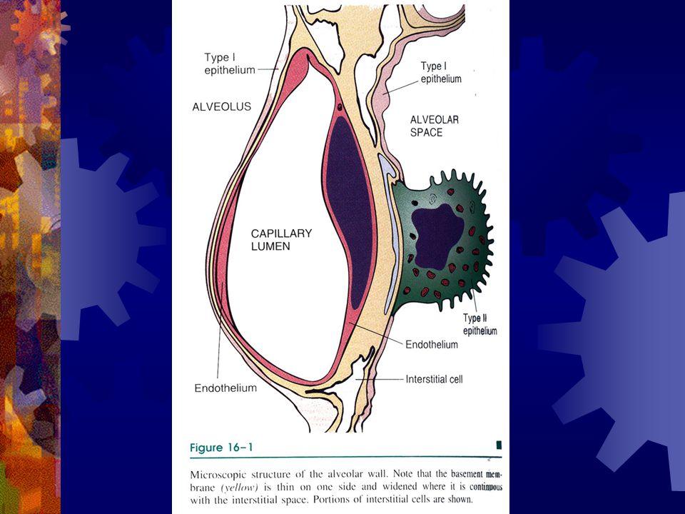 Morfoloji  Primer ve sekonder pulmoner HT da arteryal ağacın tamamı tutulur,  Vasküler değişiklik tutulan damar çapına bağlıdır  1- Ana elastik arterlerde  (atheron plağı)  2- Orta çaplı musküler arterlerde  (intimal ve medial kalınlaşma)  3- Küçük arter ve arteriollerde  (medial kalınlaşma, internal ve eksternal elastik membran redublikasyonu)  Tümünde duvar kalınlığı, lumen geçer ve lumen daralır