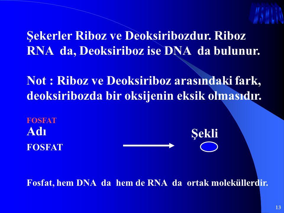 13 Şekerler Riboz ve Deoksiribozdur. Riboz RNA da, Deoksiriboz ise DNA da bulunur. Not : Riboz ve Deoksiriboz arasındaki fark, deoksiribozda bir oksij