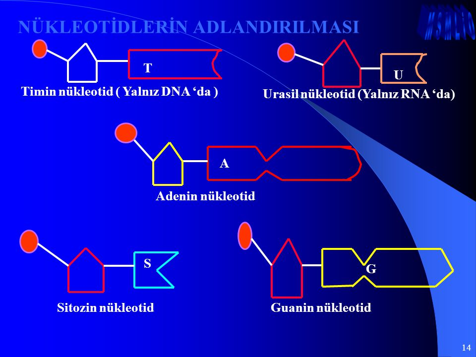 14 NÜKLEOTİDLERİN ADLANDIRILMASI T Timin nükleotid ( Yalnız DNA 'da ) U Urasil nükleotid (Yalnız RNA 'da) S Sitozin nükleotid G Guanin nükleotid A Ade