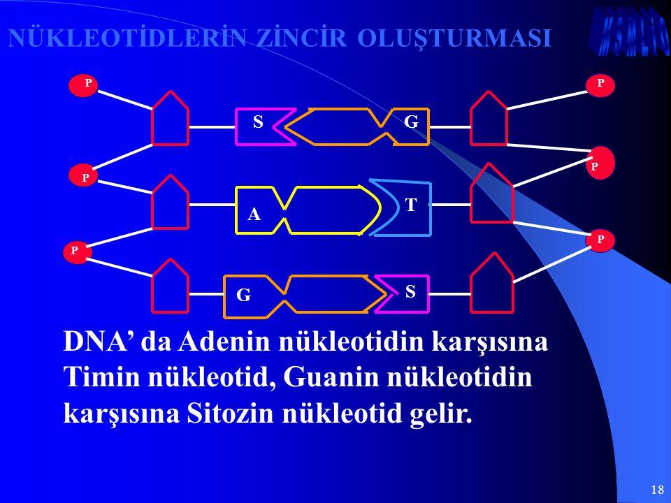 18 DNA' da Adenin nükleotidin karşısına Timin nükleotid, Guanin nükleotidin karşısına Sitozin nükleotid gelir. NÜKLEOTİDLERİN ZİNCİR OLUŞTURMASI GS S