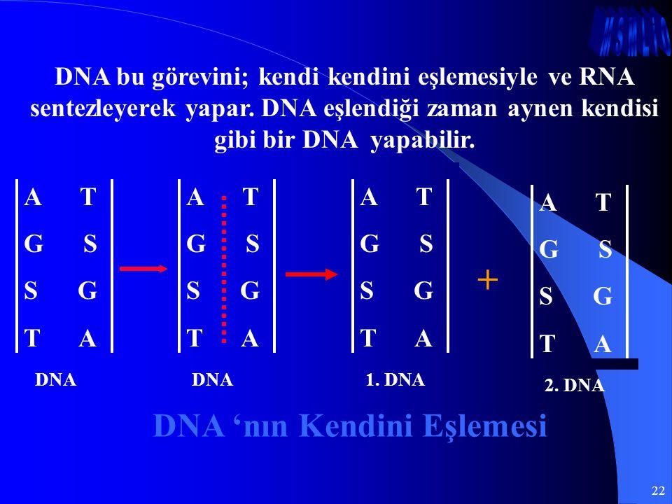 22 DNA bu görevini; kendi kendini eşlemesiyle ve RNA sentezleyerek yapar. DNA eşlendiği zaman aynen kendisi gibi bir DNA yapabilir. + DNA 'nın Kendini