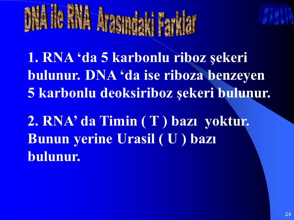 24 1. RNA 'da 5 karbonlu riboz şekeri bulunur. DNA 'da ise riboza benzeyen 5 karbonlu deoksiriboz şekeri bulunur. 2. RNA' da Timin ( T ) bazı yoktur.