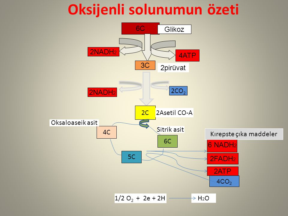 Oksijenli solunumun özeti 6C Glikoz 2NADH 2 4ATP 3C 2pirüvat 2C 2Asetil CO-A 2NADH 2 2CO 2 5C 4C 6C 2ATP 2FADH 2 6 NADH 2 Sitrik asit Oksaloaseik asit 1/2 O 2 + 2e + 2H H2OH2O 4CO 2 Kırepste çıka maddeler