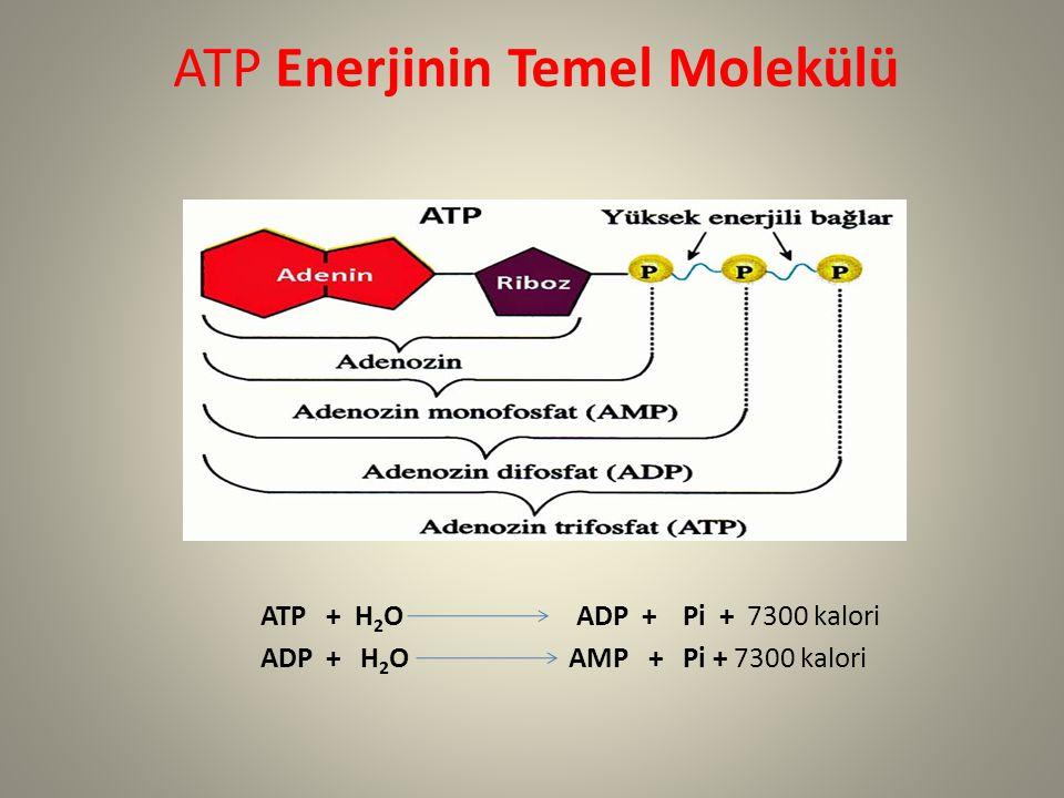 ATP Enerjinin Temel Molekülü ATP + H 2 O ADP + Pi + 7300 kalori ADP + H 2 O AMP + Pi + 7300 kalori