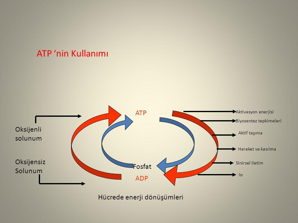 Oksijenli solunum Oksijensiz Solunum ATP ADP Fosfat Aktivasyon enerjisi Biyosentez tepkimeleri Aktif taşıma Hareket ve kasılma Sinirsel iletim Isı Hücrede enerji dönüşümleri ATP 'nin Kullanımı