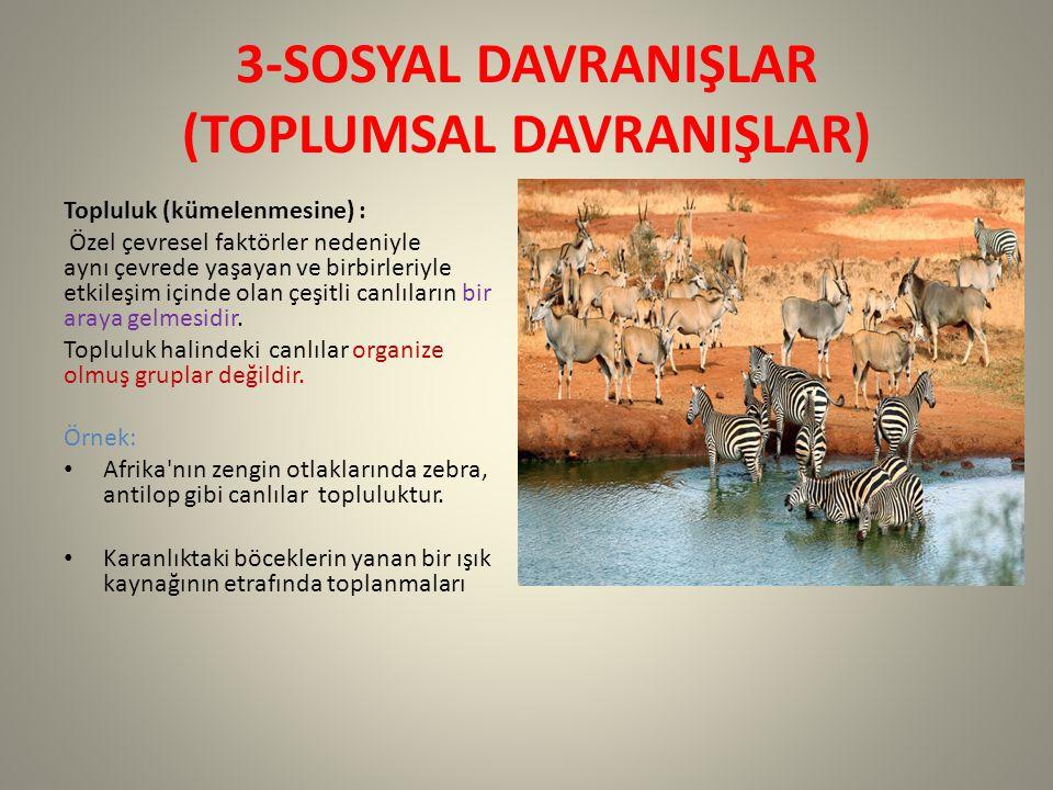3-SOSYAL DAVRANIŞLAR (TOPLUMSAL DAVRANIŞLAR) Topluluk (kümelenmesine) : Özel çevresel faktörler nedeniyle aynı çevrede yaşayan ve birbirleriyle etkileşim içinde olan çeşitli canlıların bir araya gelmesidir.