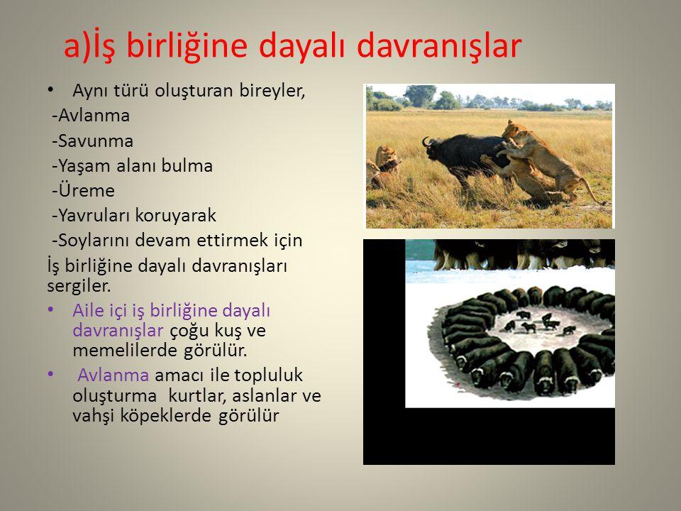 a)İş birliğine dayalı davranışlar Aynı türü oluşturan bireyler, -Avlanma -Savunma -Yaşam alanı bulma -Üreme -Yavruları koruyarak -Soylarını devam etti