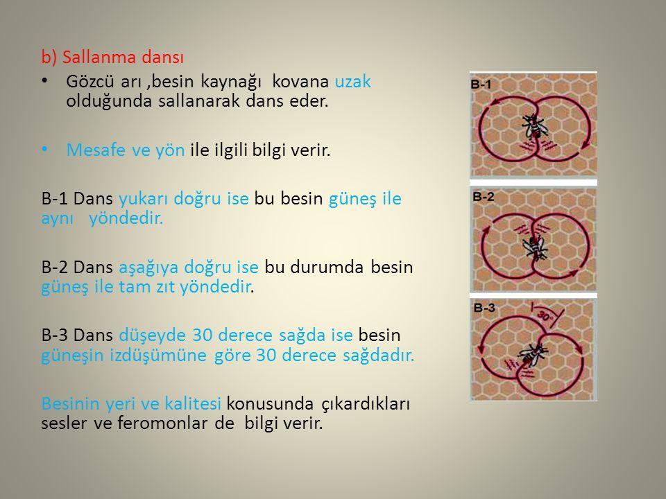 b) Sallanma dansı Gözcü arı,besin kaynağı kovana uzak olduğunda sallanarak dans eder. Mesafe ve yön ile ilgili bilgi verir. B-1 Dans yukarı doğru ise