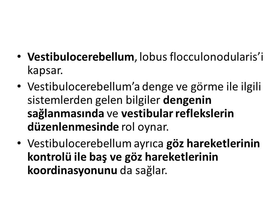 Vestibulocerebellum, lobus flocculonodularis'i kapsar. Vestibulocerebellum'a denge ve görme ile ilgili sistemlerden gelen bilgiler dengenin sağlanması