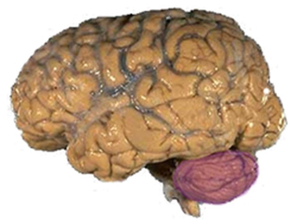 Cerebellum'un hareketlerin amaca uygun ve koordinasyon içerisinde yapılması, kas tonusu ve dengenin sağlanması gibi motor fonksiyonların yerine getirilmesinde önemli rolü vardır.
