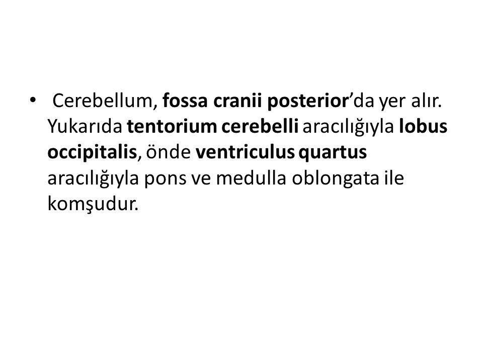 Cerebellum, fossa cranii posterior'da yer alır. Yukarıda tentorium cerebelli aracılığıyla lobus occipitalis, önde ventriculus quartus aracılığıyla pon