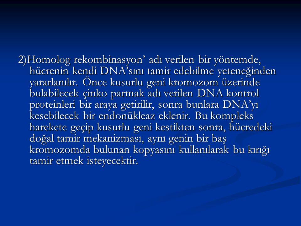 2)Homolog rekombinasyon' adı verilen bir yöntemde, hücrenin kendi DNA'sını tamir edebilme yeteneğinden yararlanılır. Önce kusurlu geni kromozom üzerin
