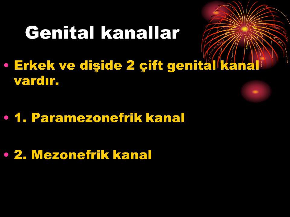 Genital kanallar Erkek ve dişide 2 çift genital kanal vardır. 1. Paramezonefrik kanal 2. Mezonefrik kanal