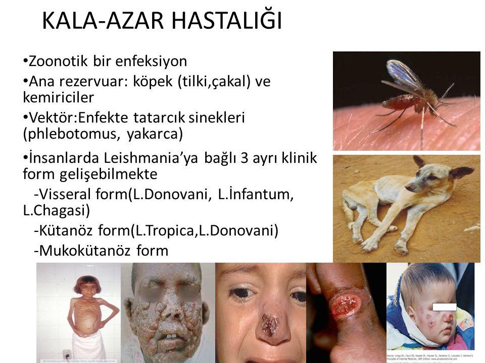 KALA-AZAR HASTALIĞI Zoonotik bir enfeksiyon Ana rezervuar: köpek (tilki,çakal) ve kemiriciler Vektör:Enfekte tatarcık sinekleri (phlebotomus, yakarca)
