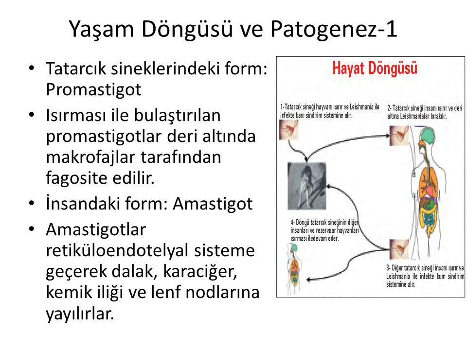 Yaşam Döngüsü ve Patogenez-1 Tatarcık sineklerindeki form: Promastigot Isırması ile bulaştırılan promastigotlar deri altında makrofajlar tarafından fa