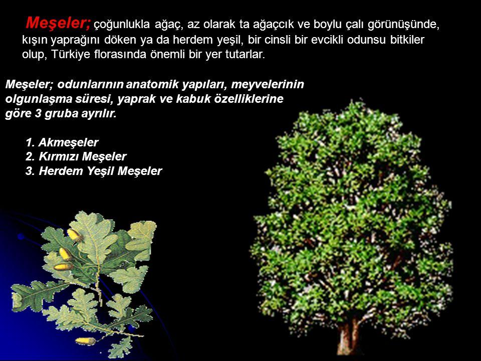 Meşeler; çoğunlukla ağaç, az olarak ta ağaçcık ve boylu çalı görünüşünde, kışın yaprağını döken ya da herdem yeşil, bir cinsli bir evcikli odunsu bitk