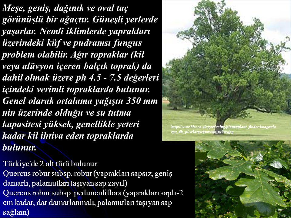 http://www.bbc.co.uk/gardening/plants/plant_finder/images/la rge_db_pics/large/quercus_robur.jpg Meşe, geniş, dağınık ve oval taç görünüşlü bir ağaçtı