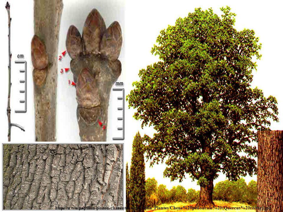 http://www.papillon-poitou-charentes.org/Poitou_Plantes/Chene%20pedoncule%20(Quercus%20robur).jpg