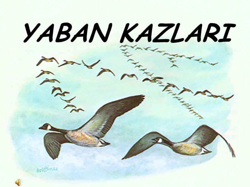 Göç eden yaban kazlarının havada süzülürken V şeklinde uçtuklarını görmüşsünüzdür...