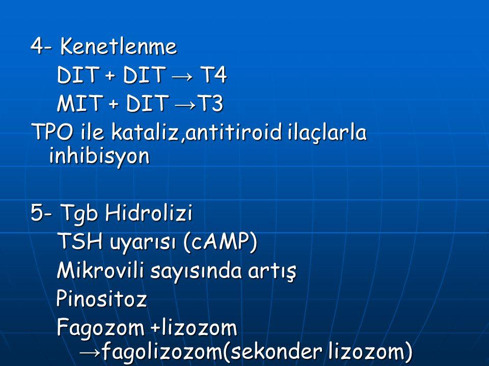 4- Kenetlenme DIT + DIT → T4 DIT + DIT → T4 MIT + DIT → T3 MIT + DIT → T3 TPO ile kataliz,antitiroid ilaçlarla inhibisyon 5- Tgb Hidrolizi TSH uyarısı