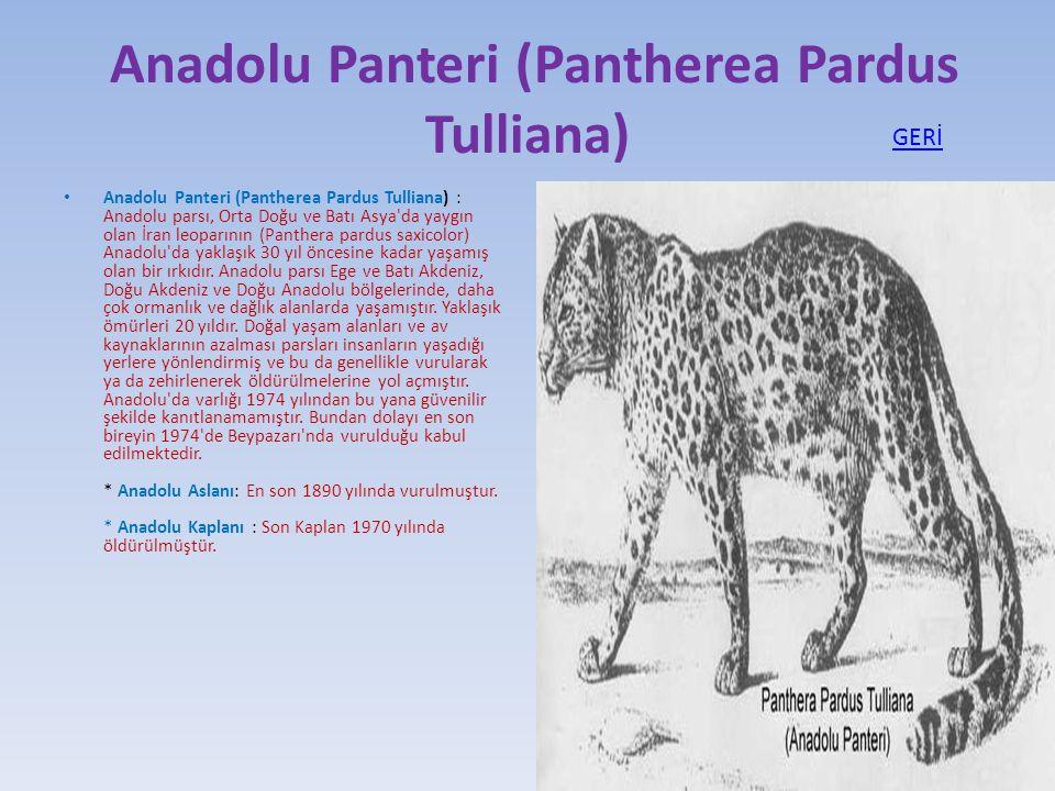 Anadolu Panteri (Pantherea Pardus Tulliana) Anadolu Panteri (Pantherea Pardus Tulliana) : Anadolu parsı, Orta Doğu ve Batı Asya'da yaygın olan İran le