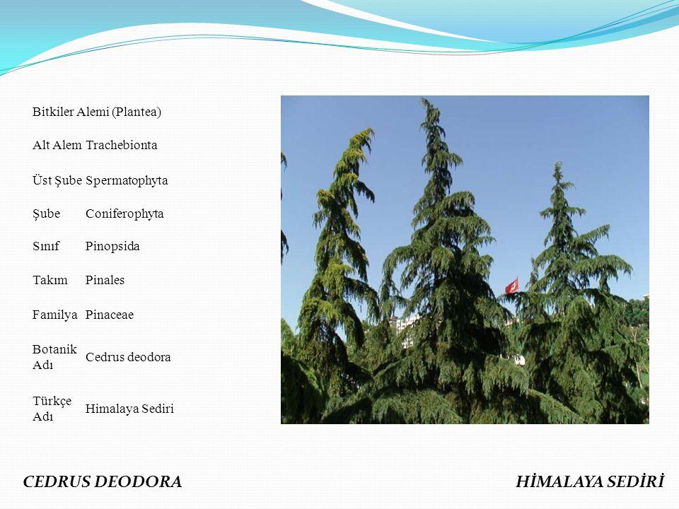 Bitkiler Alemi (Plantea) Alt AlemTrachebionta Üst ŞubeSpermatophyta ŞubeConiferophyta SınıfPinopsida TakımPinales FamilyaPinaceae Botanik Adı Cedrus d