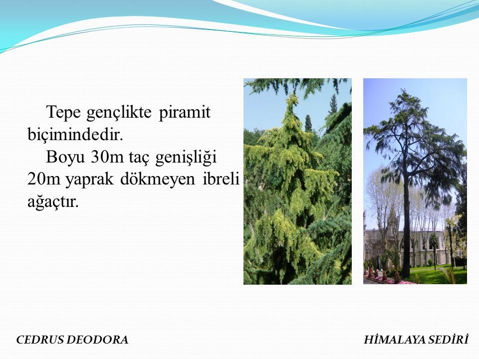 Tepe gençlikte piramit biçimindedir. Boyu 30m taç genişliği 20m yaprak dökmeyen ibreli ağaçtır. CEDRUS DEODORA HİMALAYA SEDİRİ