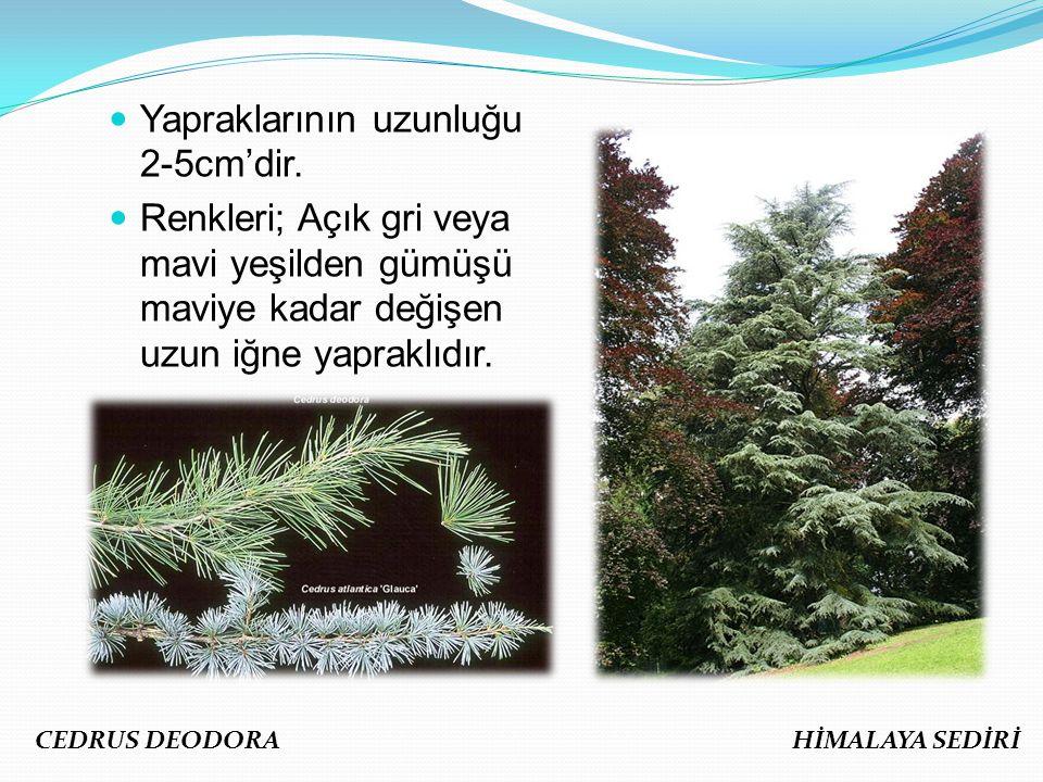 Yapraklarının uzunluğu 2-5cm'dir. Renkleri; Açık gri veya mavi yeşilden gümüşü maviye kadar değişen uzun iğne yapraklıdır. CEDRUS DEODORA HİMALAYA SED