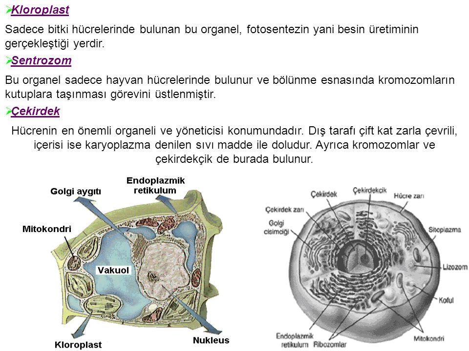 Hücrenin en önemli organeli ve yöneticisi konumundadır. Dış tarafı çift kat zarla çevrili, içerisi ise karyoplazma denilen sıvı madde ile doludur. Ayr